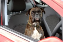 Gerty the Boxer shows off Vauxhall Motor's Advanced Park Assist technology.